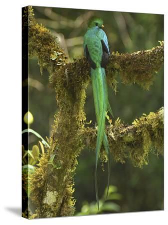 Resplendent Quetzal Male Perched on a Lichen Covered Branch (Pharomachrus Mocinno) Cierro La Muerte-Thomas Marent-Stretched Canvas Print