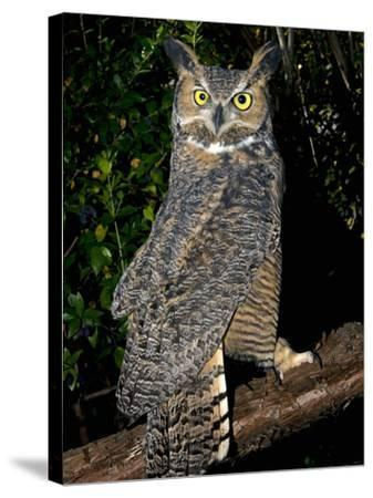 Great Horned Owls (Bubo Virginianus) Native to North America and in Central and South America-Michael Kern-Stretched Canvas Print