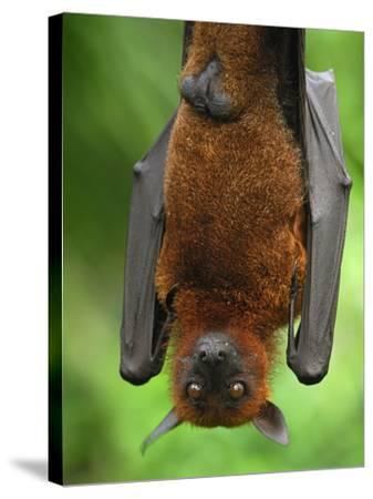 Flying Fox (Pteropus Vampyrus), Malaysia-Thomas Marent-Stretched Canvas Print