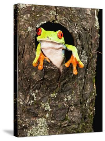 Red-Eyed Tree Frog (Agalychnis Callidryas) Peeking Out a Tree Hole-Joe McDonald-Stretched Canvas Print
