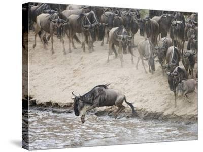 Wildebeests or Gnus Jumping into the Mara River to Cross During Migration-Arthur Morris-Stretched Canvas Print