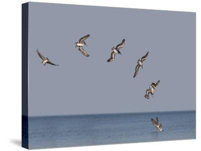 Pelicans-Marli Miller-Stretched Canvas Print