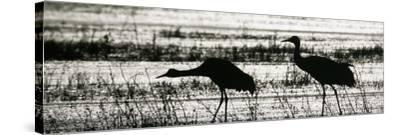 Sandhill Cranes Wading in a Marsh, Grus Canadensis, North America-Arthur Morris-Stretched Canvas Print