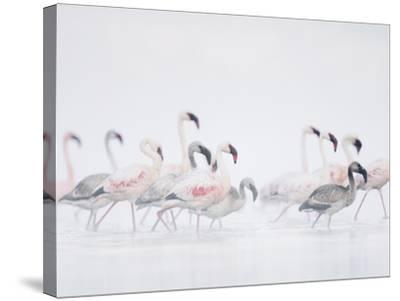 Lesser Flamingo (Phoeniconaias Minor) Adults and Young Wading Through Water-Arthur Morris-Stretched Canvas Print
