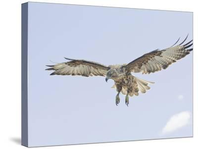 Galapagos Hawk (Buteo Galapagoensis) in Flight, Urbina, Isabella, Galapagos-Arthur Morris-Stretched Canvas Print