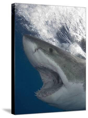 Great White Shark Head (Carcharodon Carcharias), Guadalupe Island, Mexico, Eastern Pacific Ocean-Andy Murch-Stretched Canvas Print