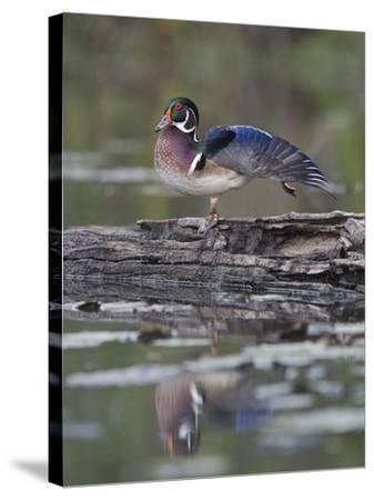 Male Wood Duck Stretching its Wing (Aix Sponsa), North America-Gustav Verderber-Stretched Canvas Print