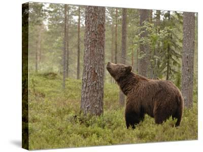 European Brown Bear (Ursus Arctos) Smelling a Scent Mark on a Tree, Finland-Dave Watts-Stretched Canvas Print