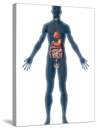 Human Male Figure Showing the Endocrine System-Carol & Mike Werner-Stretched Canvas Print