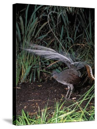 Superb Lyrebird Singing and Displaying (Menura Novaehollandiae), Healesville Sanctuary, Victoria-Dave Watts-Stretched Canvas Print