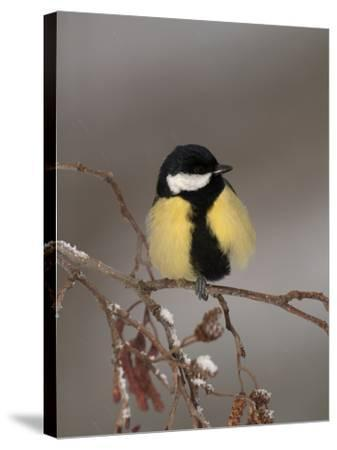 Great Tit on a Snowy Branch (Parus Major), Pyrenees, France-Dave Watts-Stretched Canvas Print