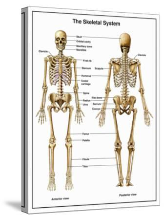 Full-Body Anterior and Posterior Anatomy of the Human Skeletal System-Nucleus Medical Art-Stretched Canvas Print