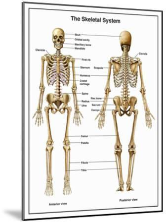 Full-Body Anterior and Posterior Anatomy of the Human Skeletal System-Nucleus Medical Art-Mounted Giclee Print