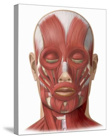 Illustration of the Human Face Muscles Showing the Following: Frontalis, Orbicularis Oculi-Nucleus Medical Art-Stretched Canvas Print