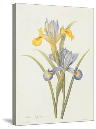 Iris (Colour Engraving)-Pierre-Joseph Redout?-Stretched Canvas Print