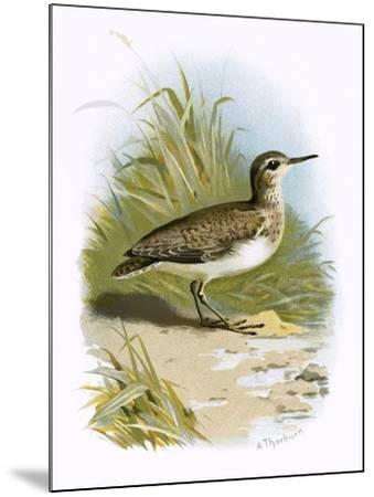 Sandpiper-English-Mounted Giclee Print
