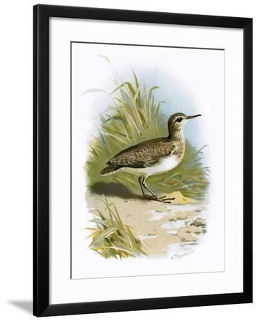 Sandpiper-English-Framed Giclee Print