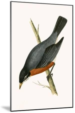 Red Breasted Thrush,  from 'A History of the Birds of Europe Not Observed in the British Isles'-English-Mounted Giclee Print
