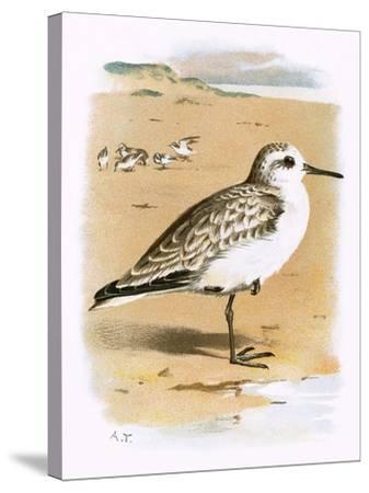Sanderling-English-Stretched Canvas Print