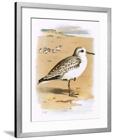 Sanderling-English-Framed Giclee Print