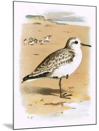 Sanderling-English-Mounted Giclee Print