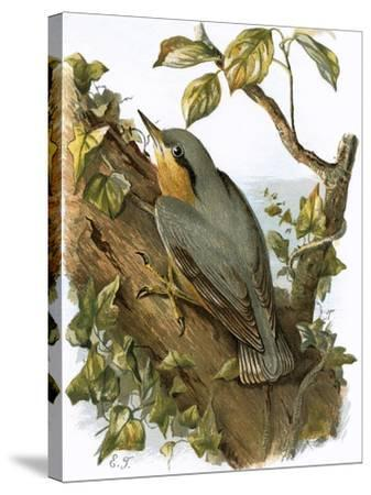 Nuthatch-English-Stretched Canvas Print