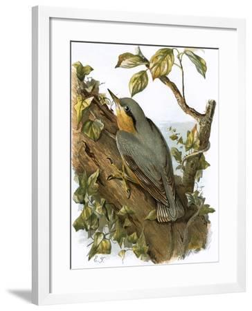 Nuthatch-English-Framed Giclee Print