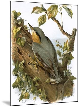 Nuthatch-English-Mounted Giclee Print