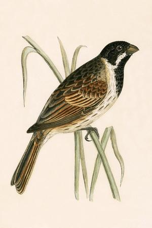 Marsh Bunting,  from 'A History of the Birds of Europe Not Observed in the British Isles'-English-Stretched Canvas Print