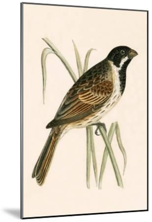 Marsh Bunting,  from 'A History of the Birds of Europe Not Observed in the British Isles'-English-Mounted Giclee Print