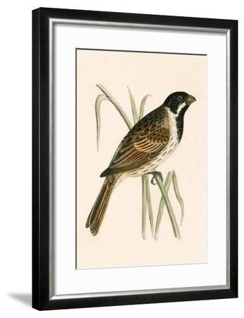 Marsh Bunting,  from 'A History of the Birds of Europe Not Observed in the British Isles'-English-Framed Giclee Print