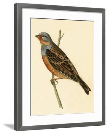 Cretzschmaer's Bunting,  from 'A History of the Birds of Europe Not Observed in the British Isles'-English-Framed Giclee Print