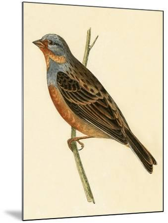 Cretzschmaer's Bunting,  from 'A History of the Birds of Europe Not Observed in the British Isles'-English-Mounted Giclee Print