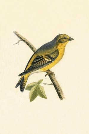 Citril Finch,  from 'A History of the Birds of Europe Not Observed in the British Isles'-English-Stretched Canvas Print