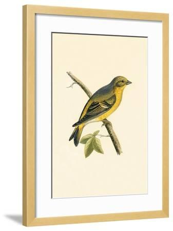 Citril Finch,  from 'A History of the Birds of Europe Not Observed in the British Isles'-English-Framed Giclee Print
