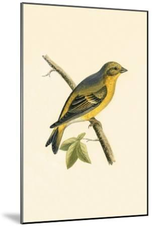 Citril Finch,  from 'A History of the Birds of Europe Not Observed in the British Isles'-English-Mounted Giclee Print