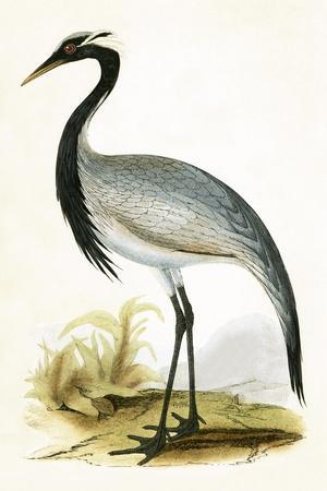 Numidian Crane,  from 'A History of the Birds of Europe Not Observed in the British Isles'-English-Stretched Canvas Print