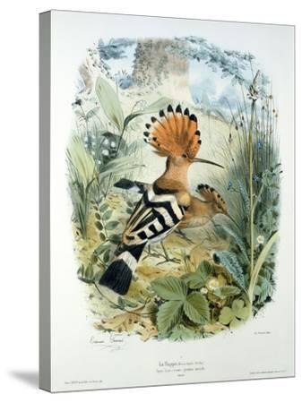 Hoopoe (Upupa Epops) (Colour Litho)-Edouard Travies-Stretched Canvas Print