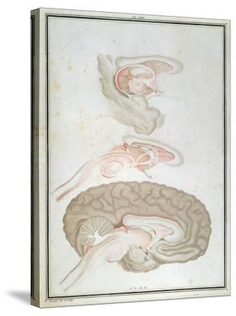 Cross-Section of the Brain, from 'Traite D'Anatomie Et De Physiologie' by Felix Vicq D'Azyr-Alexandre Briceau-Stretched Canvas Print