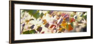 Chinese Tallow Leaves--Framed Photographic Print