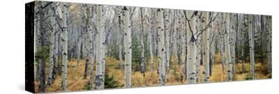 Aspen Trees in a Forest, Alberta, Canada--Stretched Canvas Print