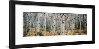 Aspen Trees in a Forest, Alberta, Canada--Framed Photographic Print