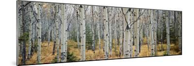 Aspen Trees in a Forest, Alberta, Canada--Mounted Photographic Print
