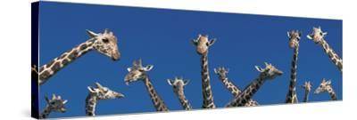 Curious Giraffes (Concept) Kenya Africa--Stretched Canvas Print