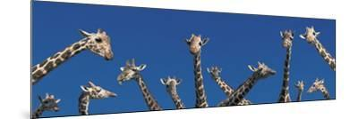 Curious Giraffes (Concept) Kenya Africa--Mounted Photographic Print