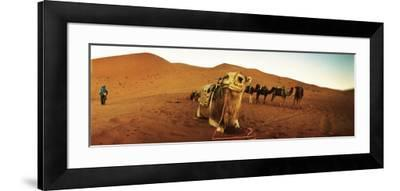 Camel in the Sahara Desert with a Berber Man in the Background, Morocco--Framed Photographic Print
