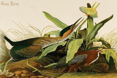 Green Heron-John James Audubon-Stretched Canvas Print