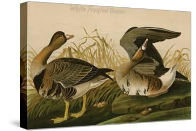 White Fronted Goose-John James Audubon-Stretched Canvas Print
