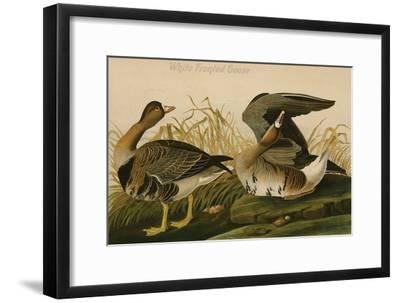 White Fronted Goose-John James Audubon-Framed Art Print