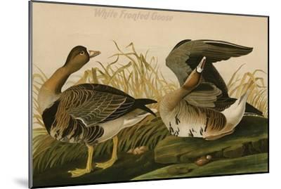 White Fronted Goose-John James Audubon-Mounted Art Print
